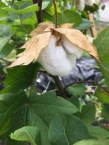 木綿を育ててみよう